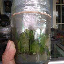 Jual Bibit Anggrek Phalaenopsis jual tanaman hias