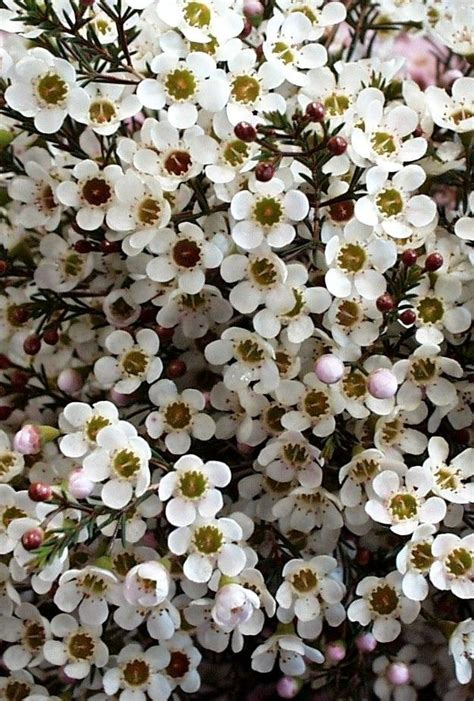 flowers photo tiny white flowers in bloom light 25 best ideas about wax flowers on of