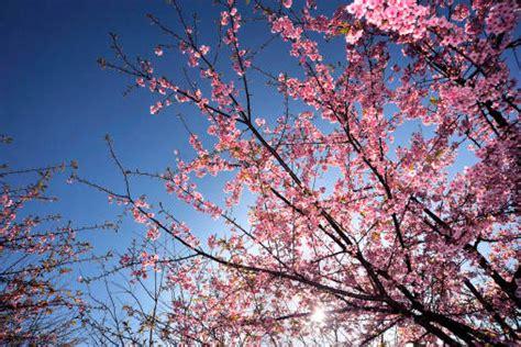 l albero fiorito i rami secchi l ombra vento