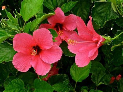 menanam  budidaya bunga sepatu