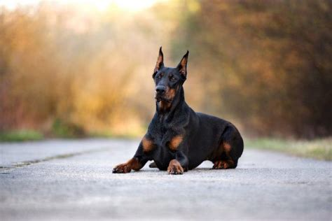 best guard the best guard dogs for families