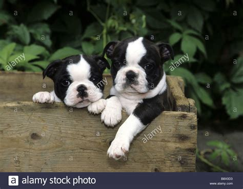boston terrier puppies oklahoma two boston terrier puppies in a wooden box stock photo royalty free image 22698735