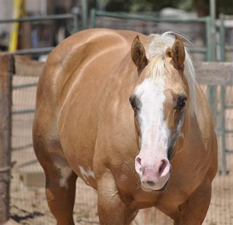 white pattern in horses 53 best images about palominos and patterns on pinterest