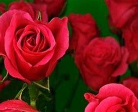 Istanaku Sprei Flower 200 X 200 Pink Pink Folies Spray Roses Flowers By Category