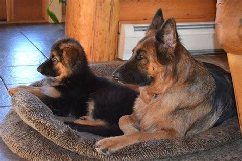 golden retriever rescue western ny black german shepherd puppies western ny photo
