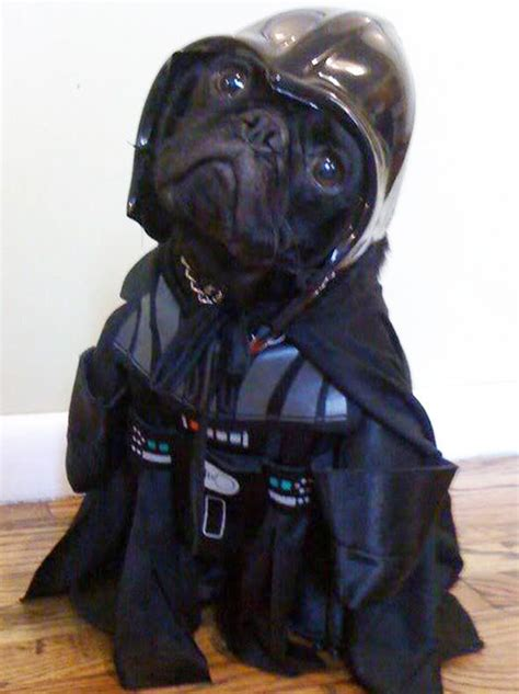 pugs in wars costumes these dogs dressed as wars characters are barking mad entertainment