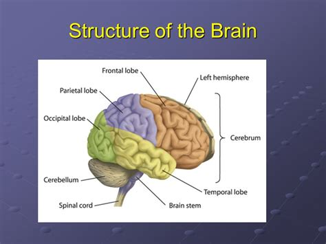 three main sections of the brain nervous system ppt video online download