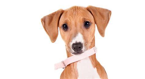 azawakh puppies azawakh breed information american kennel club