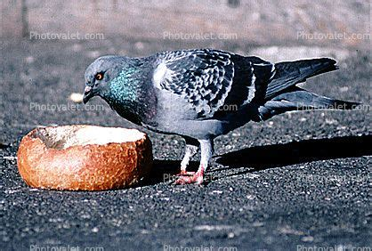 pigeon eating from a french bread bowl love my animals