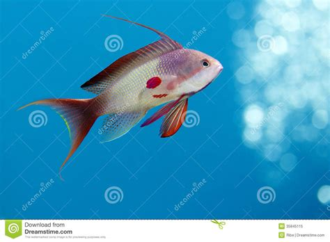 pure blue h2o red light royalty free stock photo fish underwater image 35845115