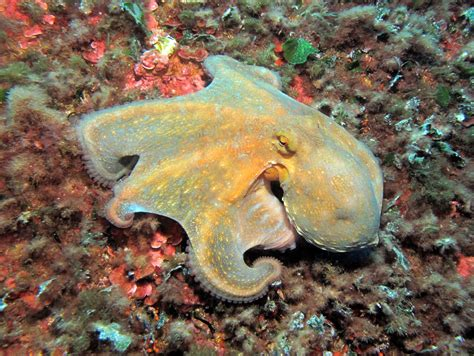octopus home octopus vulgaris common octopus atlantis gozo