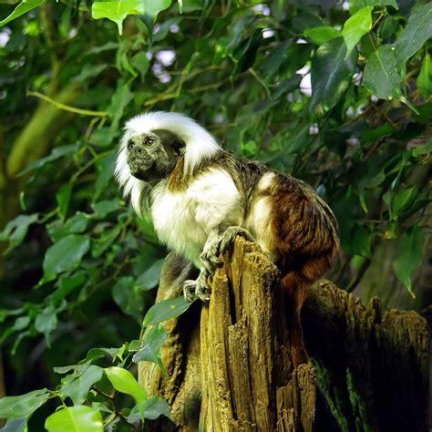 best cotton cotton top tamarin wikipedia