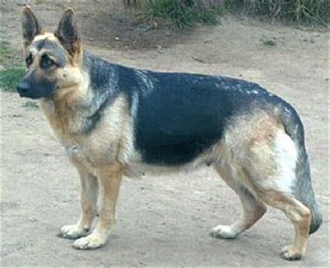 golden retriever puppies cost in kerala german shepherd in kerala for sale dogs in our photo