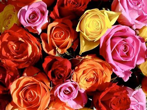 rosa fiore significato rosa significato significato fiori significato