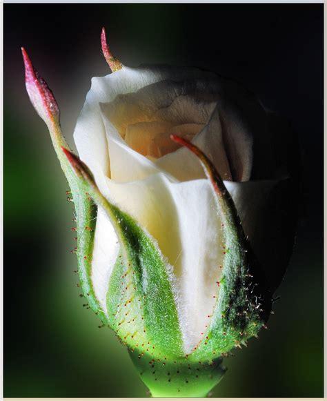 boccioli di fiori bocciolo di rosa foto immagini macro e up