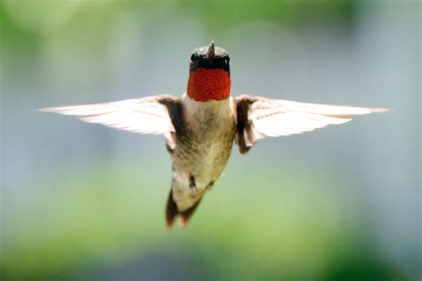 ruby throated hummingbird song call voice sound