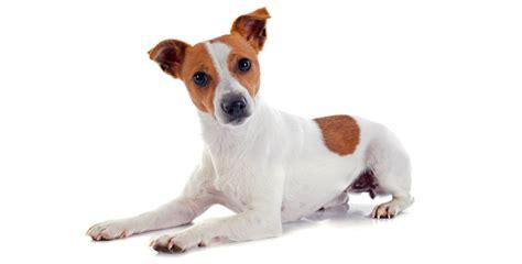 imagenes perros jack russell terrier perro jack russell terrier iper 250