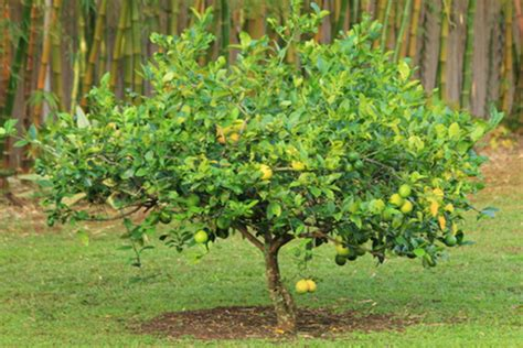 meyer lemon tree meyer lemon soffia wardy