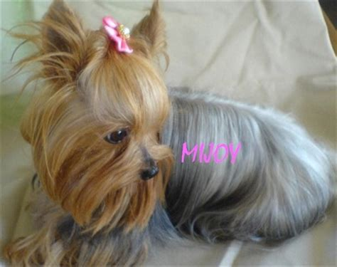 pocket yorkie yorkies biewers accessories top knot diaries the biewer terrier puppies for