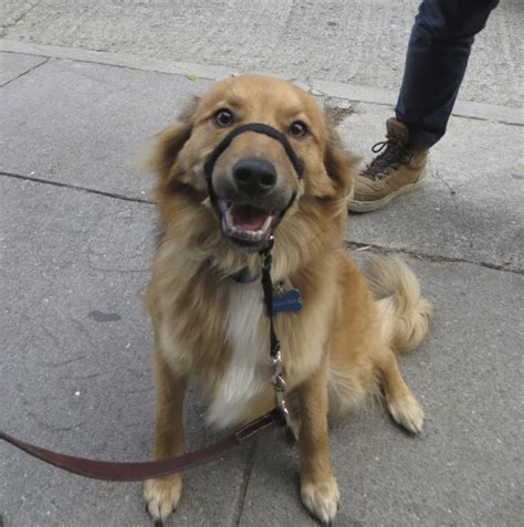 should i shave my golden retriever of the day watson the golden retriever border collie mix the dogs of san francisco