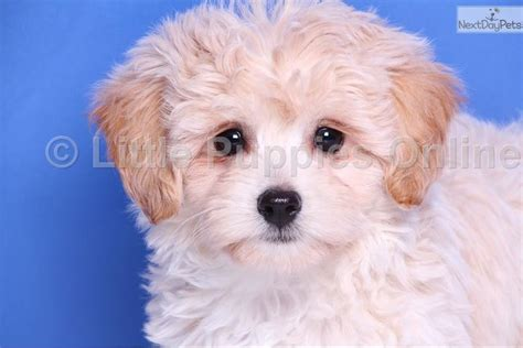 yorkie mix puppies for sale in iowa yorkipoo yorkie poodle yorkiepoo puppies for sale iowa breeds picture