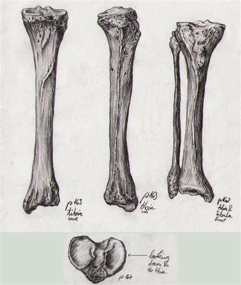 bone drawing bone studies 03 tibia fibula by blackdelphin on deviantart