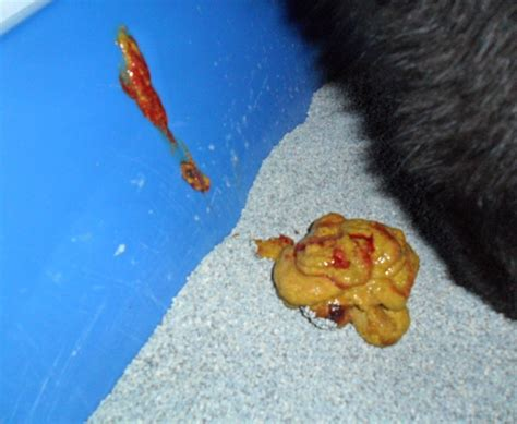 Fresh Blood In Cat Stool by Should Blood Or Mucus In Cat S Be A Cause For