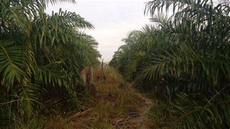 Biaya Pembersihan Lahan Kelapa Sawit Jual Lahan Perkebunan Kelapa Sawit 100 Ha