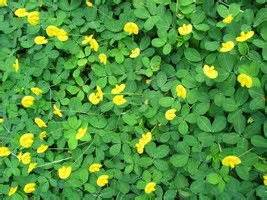 perennial peanut easy care low maintenance ground cover