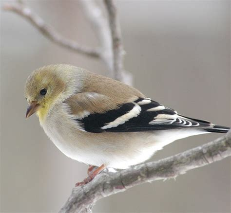 american goldfinch with winter plumage backyard birding