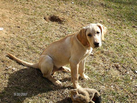 golden retriever vs yellow lab golden retriever puppies vs yellow lab puppies images