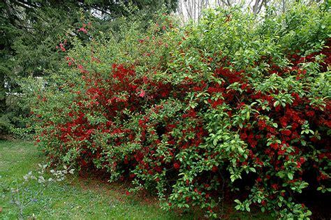 quince bush rubra grandiflora flowering quince chaenomeles speciosa rubra grandiflora in toronto