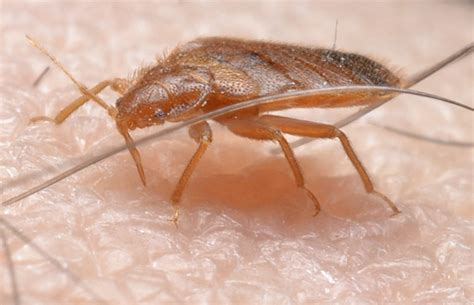bed bug exterminators bed bugs in nyc learn the faq best bed bug exterminators