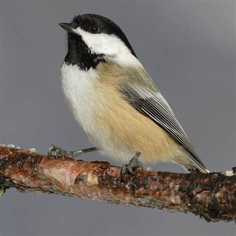 birds of ontario black capped chickadee