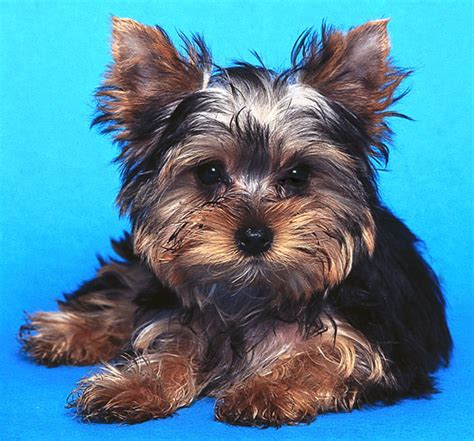 show me a picture of a teacup yorkie the and the of coat styles for your terrier for dummies