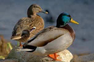 duck nutrition good whole food