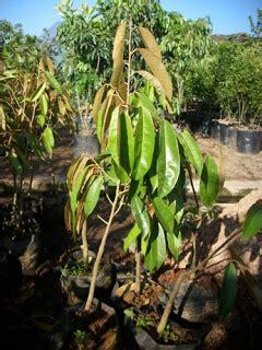 Bibit Alpukat Bangkok supplier bibit pohon buah jual bibit pohon buah