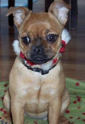 pug fox terrier mix poxer breed information and pictures
