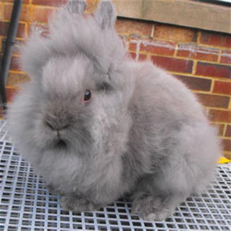 how big will my get appearance faq lionhead rabbit