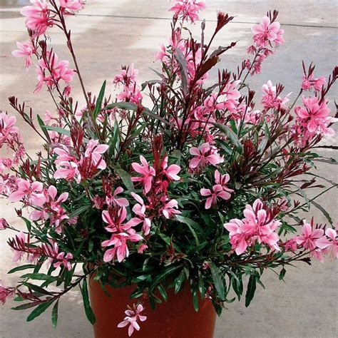 Sp Boot Flower White 95 best images about gaura on white flowers
