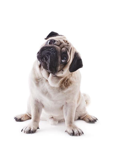www pug pug