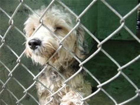 yorkie puppies in animal shelters the world s catalog of ideas