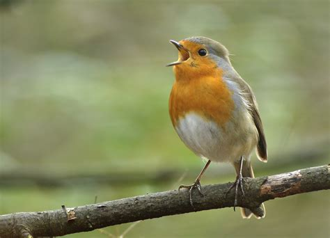 singing robin the temperatures are rising and snow and