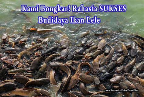 Pakan Ikan Lele 1000 Ekor cara budidaya ikan lele kolam terpal kolam terpal