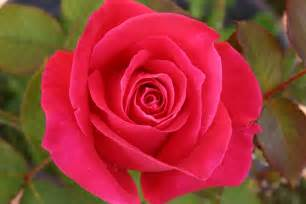 Pink And Red Roses Digital Perfect Photography Digital Photography