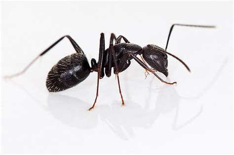 black ants black carpenter ant conotus pennsylvanicus