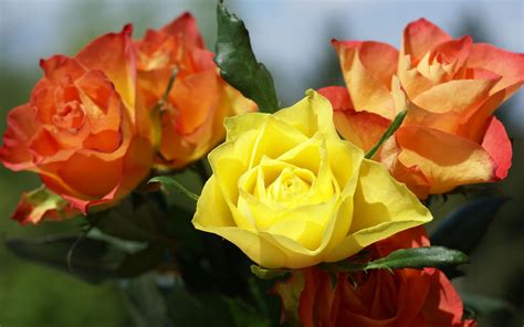 Yellow Rose Wallpapers HD Pictures ? Download HD Flowers