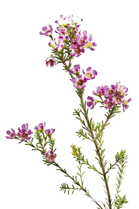 light pink wax flower chamelaucium growing conditions plant care for