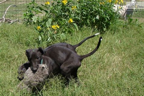 greyhound puppies for sale near me black greyhound puppy for sale near san antonio 97f5f32e 8a91