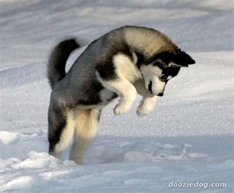 snow husky puppy snow animals dogs jumping husky siberian husky siberian husky winter dogs